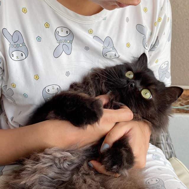 gato persa preto lindo