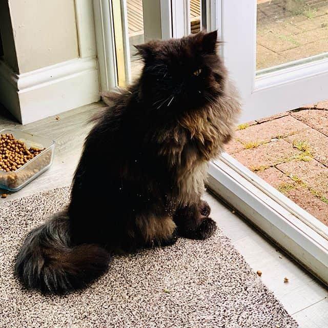 gato persa preto