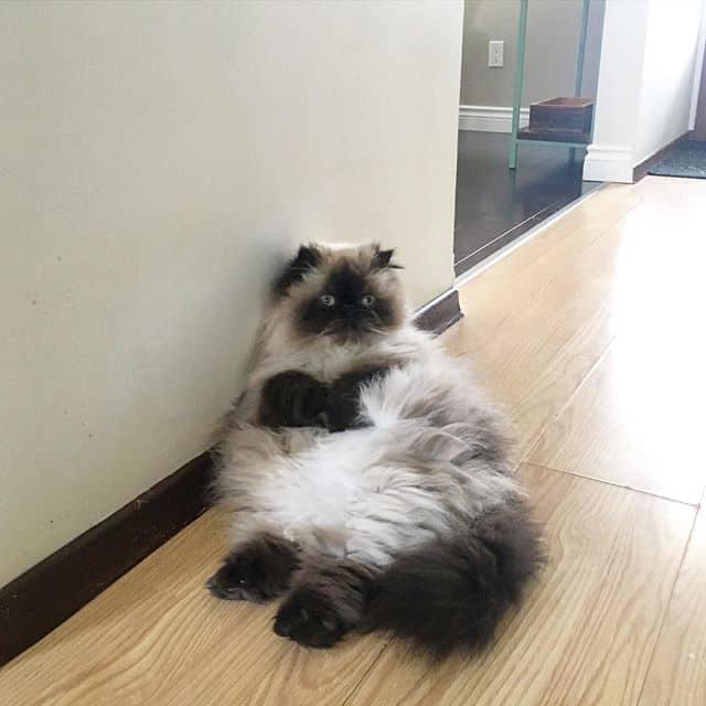 gato piggy