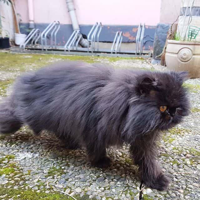 gato preto persa