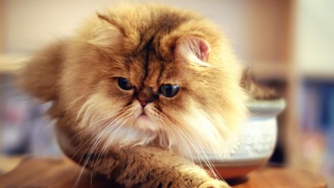 gatos persas 1