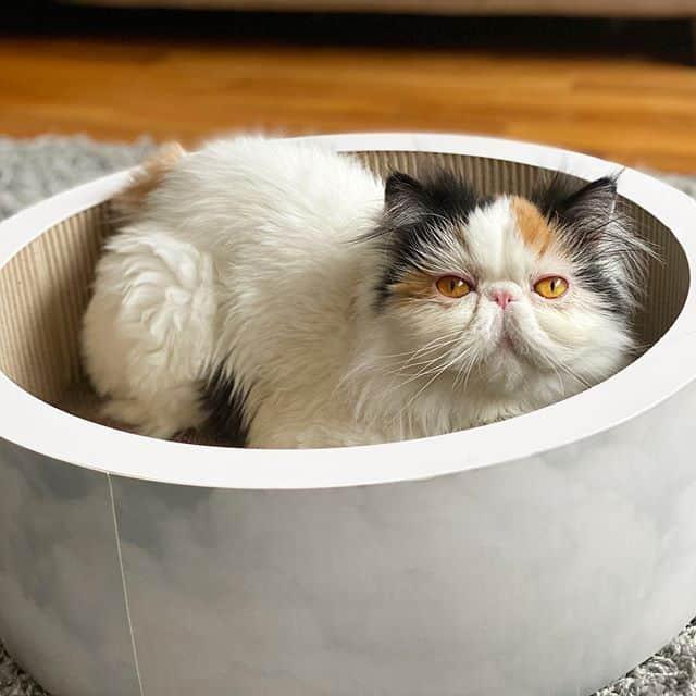 graveskull gato persa