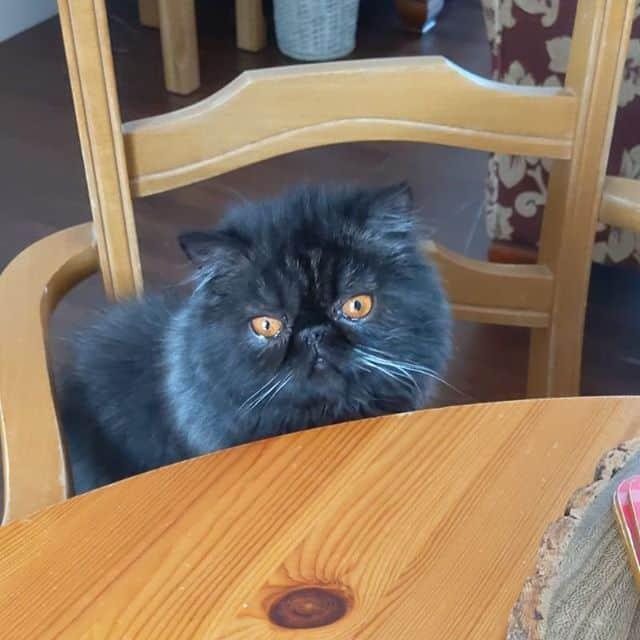 imagens de gato persa