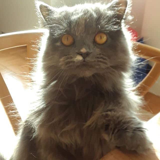 lindo gato persa 1