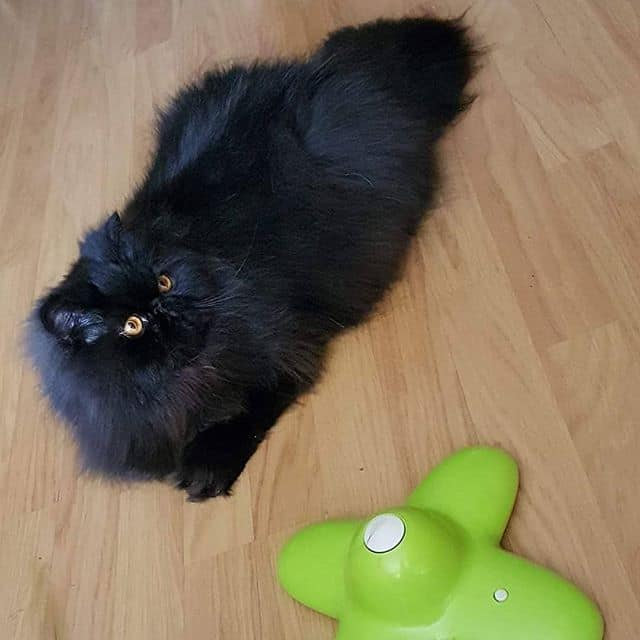 lindo gato persa 2
