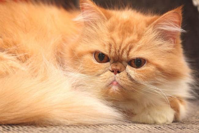 lindo gato persa 3