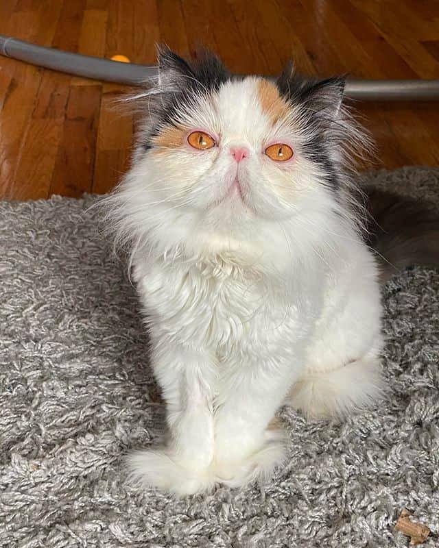 lindo gato persa 4