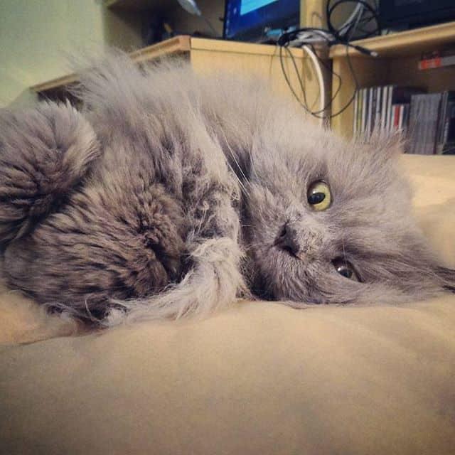 lindo gato persa cinza