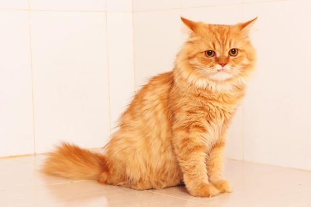 lindo gato persa laranja