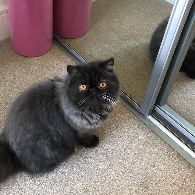 lindos gatos persas 1