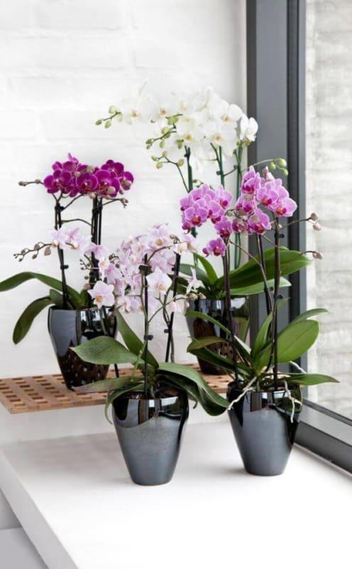 mini orquídeas em vasinhos na sala