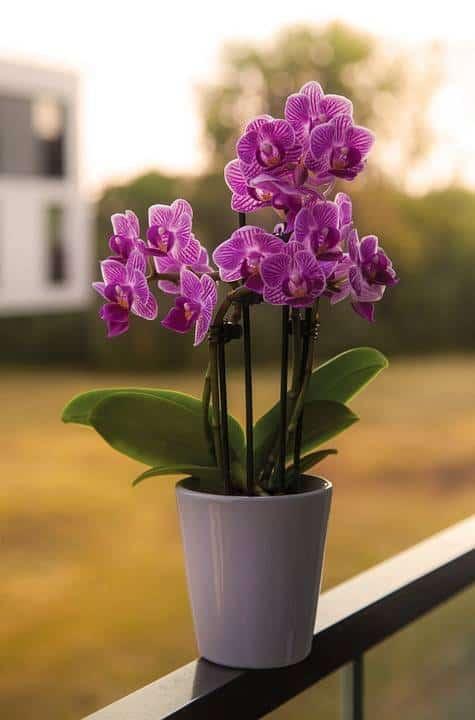 mini orquídeas na varanda