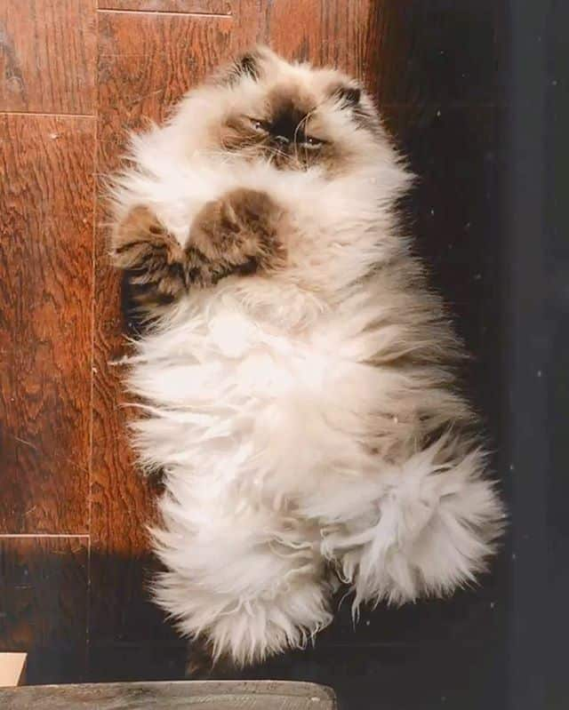 piggy gato persa
