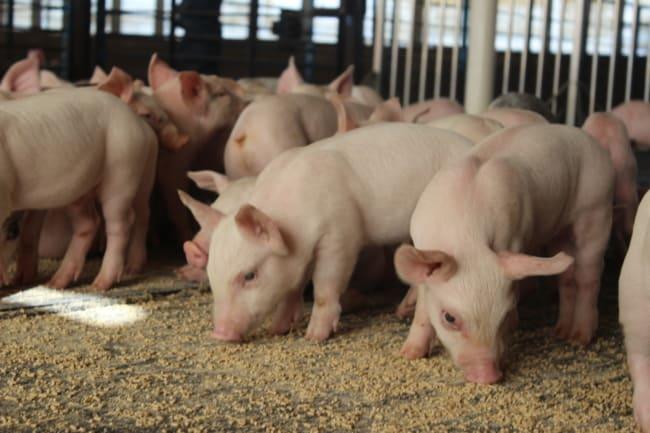 ração para porcos animais comendo