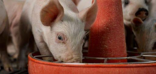 ração para porcos valor nutricional