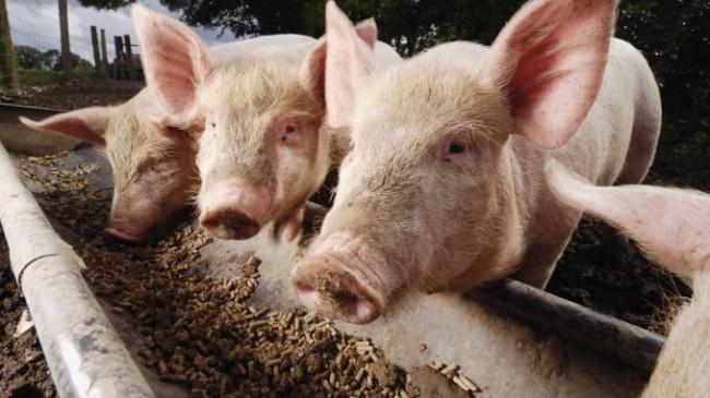 receita de ração para porcos