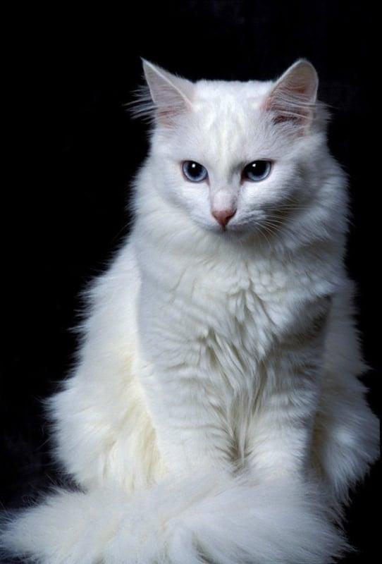 características de gato angorá
