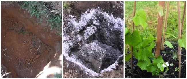 passo a passo para plantar uva na terra