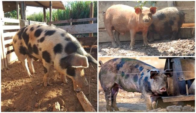 vantagens da criação de porco caipira