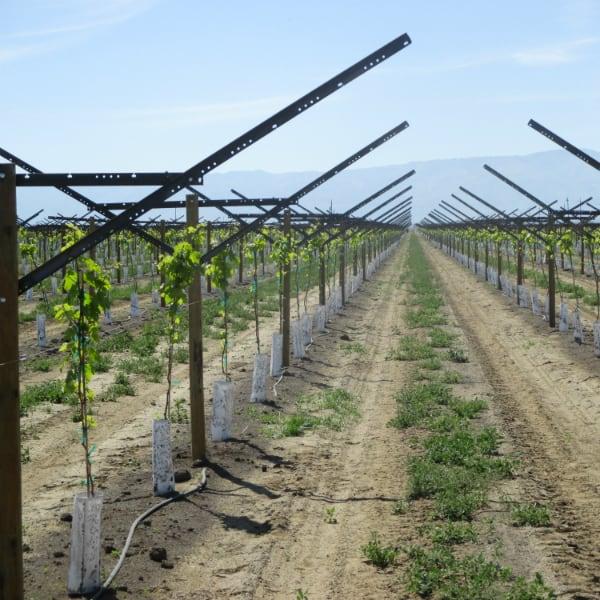 plantio de uva em trellis