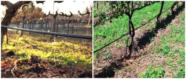 como cuidar e irrigar uvas