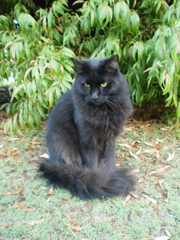 gato angorá preto de olhos verdes
