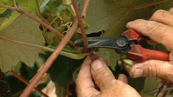 cuidados com plantio de uva