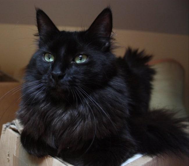 gato turco de pelagem preta