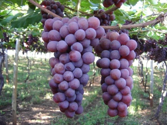 dicas de plantio de uva