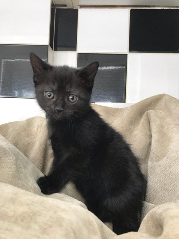 filhotinho de gato preto angorá