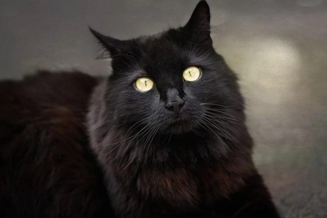 gato turco com pelagem preta