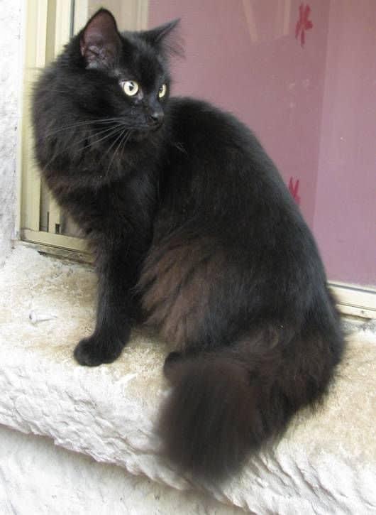 gato turco preto