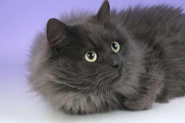 gato angorá cinza de olhos verdes