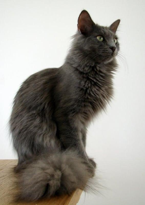 gato angorá cinza claro