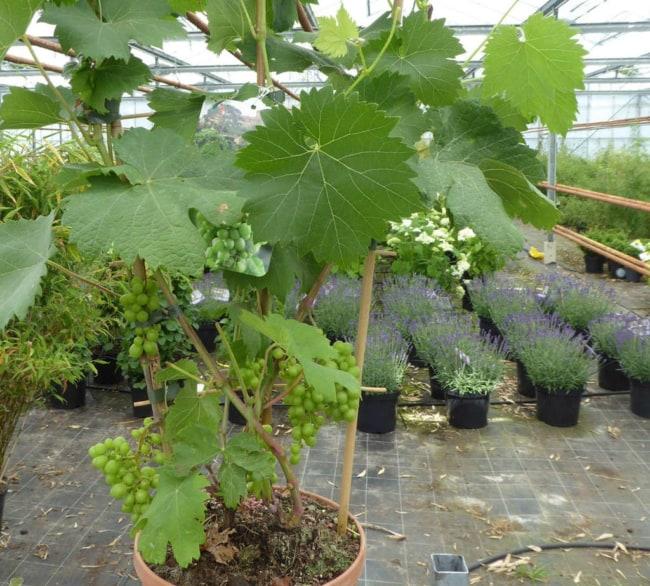 como plantar uva no vaso