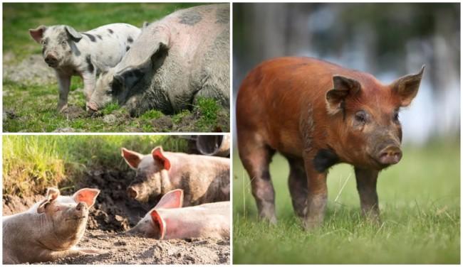 dicas para criar porco caipira