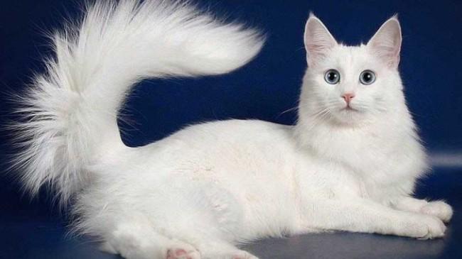 tamanho e peso médio de gato angorá