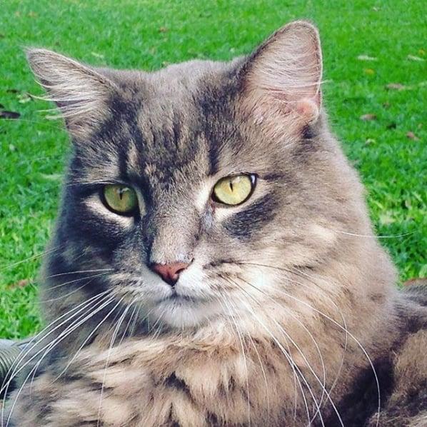gato turco cinza de olho verde