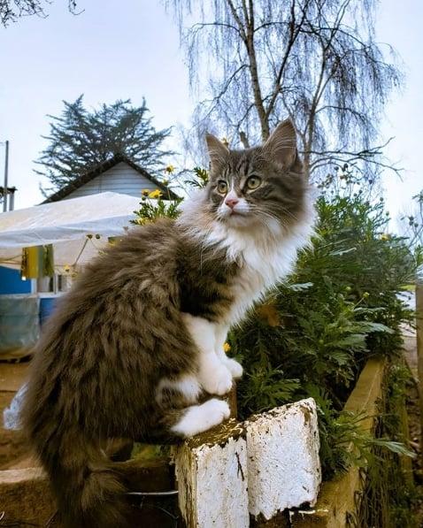 gato angorá de pelagem cinza e branca