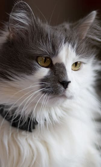 gato angorá cinza e branco