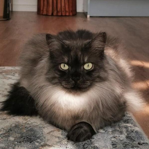 gato angorá cinza de olho verde