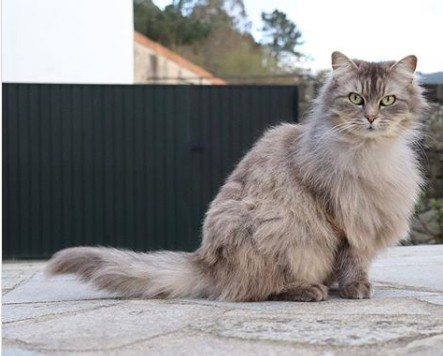 gato turco de pelo cinza claro