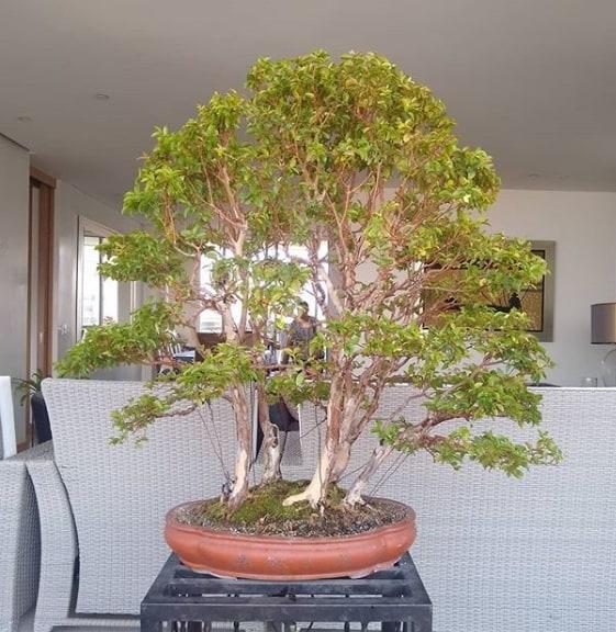 bonsai de jabuticaba na decoração