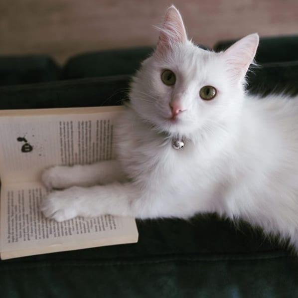gato angorá branco de olhos verdes