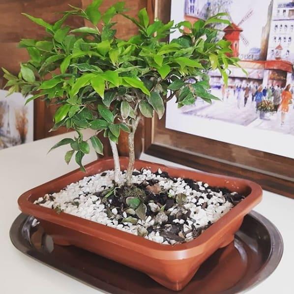 bonsai de jabuticabeira na decoração