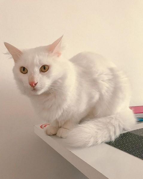 gato turco branco