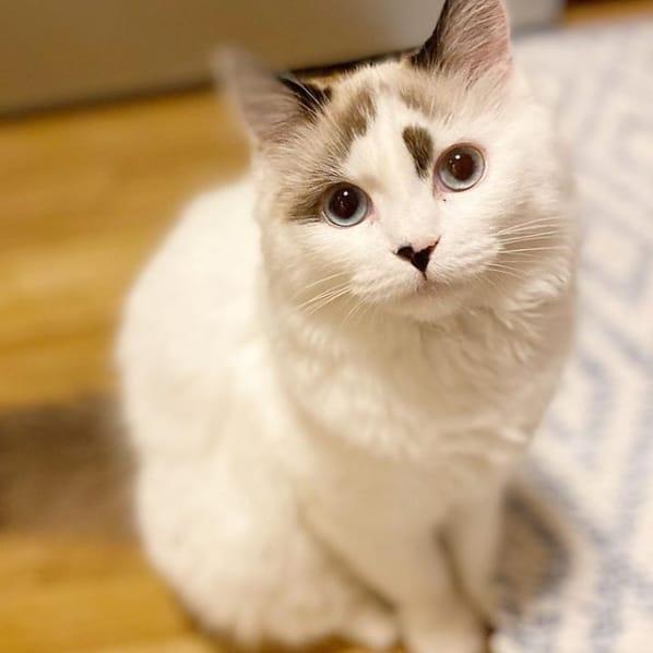 gato angorá branco com manchinhas