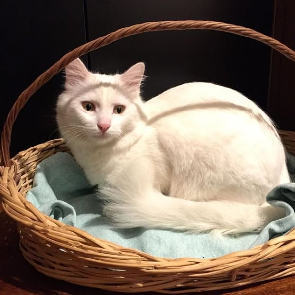 gato branco de olhos claros
