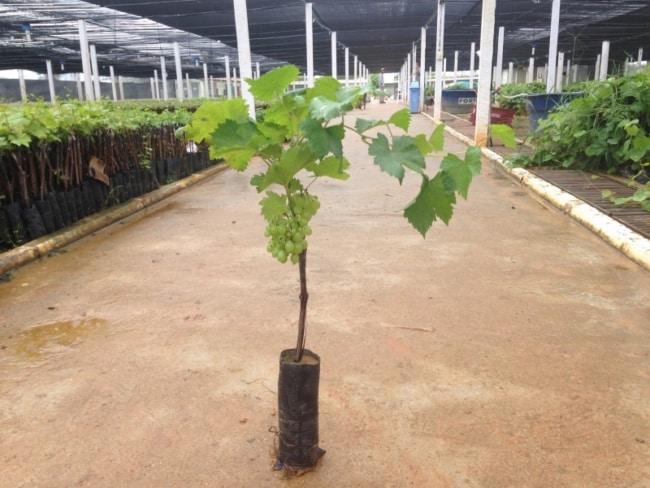 dicas para plantar uva