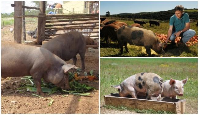 prós da criação de porco caipira